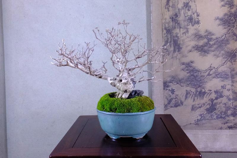 紫式部 盆栽 石付